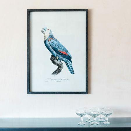 Framed Left Facing Blue Parrot Print
