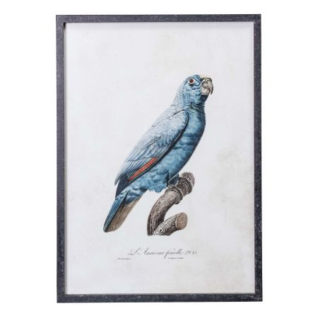 Framed Right Facing Blue Parrot Print