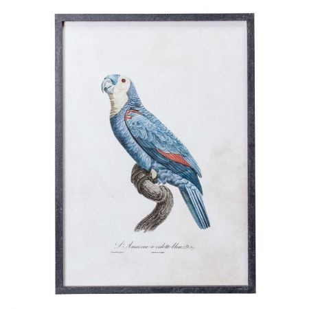Framed Left Facing Blue Parrot Print