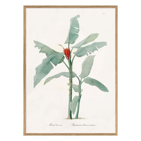 Medium Framed Scarlet Banana Print