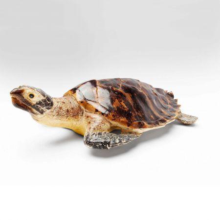 Tiago the Turtle