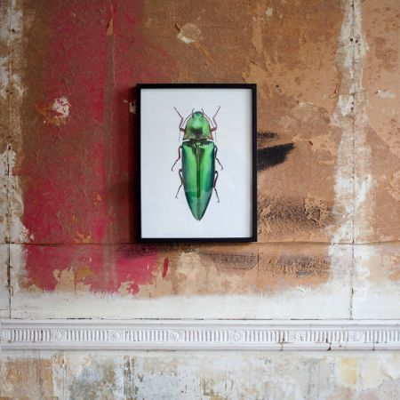 Small Wooden Framed Insect Print - Campsosternus Aur