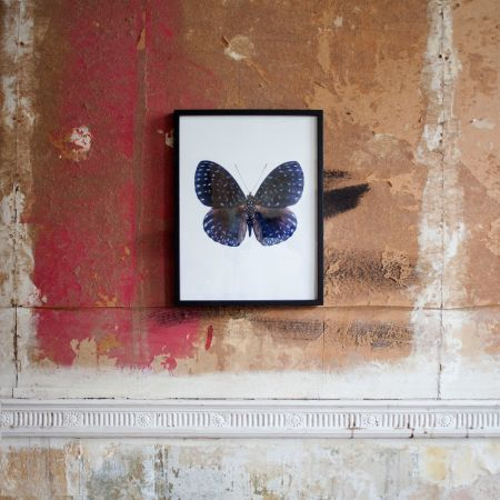 Small Wooden Framed Butterfly Print - Hamadryas Velutina