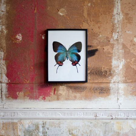 Small Wooden Framed Butterfly Print - Evenus Coronata