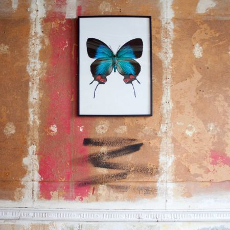 Large Wooden Framed Butterfly Print - Evenus Coronata