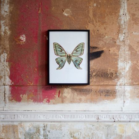 Small Wooden Framed Butterfly Print- Graellsia Isabellae