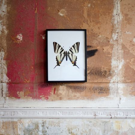 Small Wooden Framed Butterfly Print - Iphiclides Podalirius