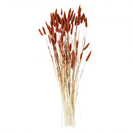 Dried Orange Hare's Tail Grass